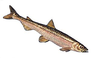 Rainbow smelt - Image: Rainbow smelt