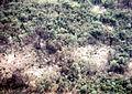 Ranch Hand defoiliation effects on Vegetation in Vietnam.jpg