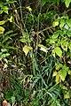 Ranunculus acris (8016835759).jpg