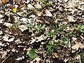 Ranunculus auricomus agg. sl1.jpg