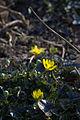 Ranunculus ficaria 'Brambling' 04.jpg