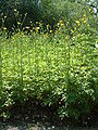 Ranunculus serbicus RB.jpg