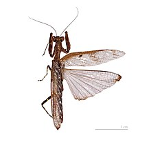Mantis wings, the forewing leathery, the hindwing triangular