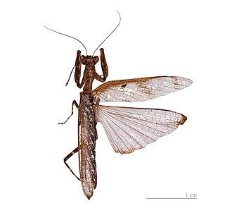 Mantis - Wing arrangement of a typical mantis, adult male Raptrix perspicua