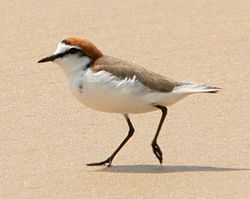 Red-capped Plover male.jpg