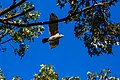 Red-shouldered hawk (36396169544).jpg
