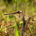 Red-veined Darter (15817733882).jpg