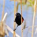 Red-winged Blackbird (48002692043).jpg