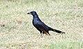 Red-winged Starling (Onychognathus morio) (45672439945).jpg