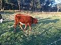 Red Cow, Bos Taurus, Country Victoria (Australia).JPG