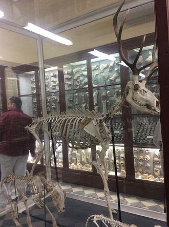 Red deer - Skeleton of Cervus elaphus found at Għar Dalam