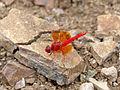Red Groundling (Brachythemis lacustris) male (11965838824).jpg