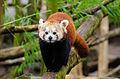 Red Panda (24712843792).jpg