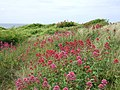 Red Valerian on The Bennett, Newport, Pembs. - geograph.org.uk - 202619.jpg