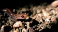 Redback salamander in roadside gravel (6125549199).png