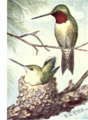 Reed-ruby-throated-hummingbird.png