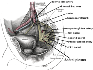 Sacral plexus - Relations of the sacral plexus. Dissection of side wall of pelvis showing sacral and pudendal plexuses.