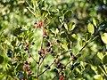 Rhamnus alaternus.jpg