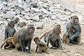 Rhesus macaque Macaca mulatta (2154440309).jpg