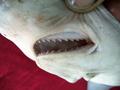 Rhizoprionodon acutus 01.png