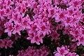 Rhododendron (42079845791).jpg