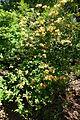Rhododendron calendulaceum - Arnold Arboretum - DSC06673.JPG