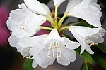 Rhododendron subg. Hymenanthes (26182086593).jpg