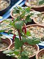 Ribes speciosus (16847892005).jpg