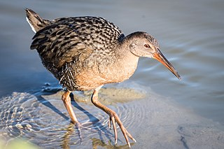 Ridgways rail Species of bird