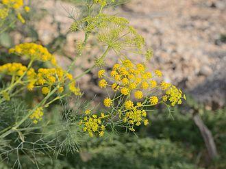 Ridolfia segetum - Ridolfia segetum