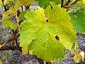 Riesling Muscat leaf.JPG