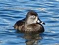 Ring-Necked Duck at Byrd Park.jpg