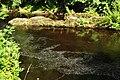 River Tavy in Tavistock (4918).jpg