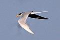 River Tern Sterna aurantia by Dr. Raju Kasambe IMG 0102 (2).jpg