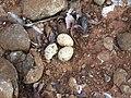 River tern-Nest 13 - Koyna 042011.JPG