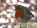 Robin (3090365560).jpg
