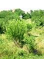 Roman Catholic cemetery, Ratkovo, Odžaci, Vojvodina, Serbia - 20060602.jpg