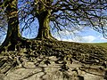 Roots on the bank at Avebury henge - geograph.org.uk - 401978.jpg