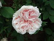 Rosa 'Climbing Souvenir de la Malmaison'