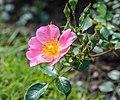 Rosa 'Topolina' (d.j.b) 02.jpg