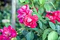 Rosa Blaze of Glory 1zz.jpg