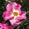 Rosa Isobel 1.jpg