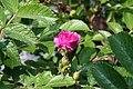 Rosa rugosa F. J. Grootendorst 4zz.jpg