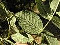 Rosa tomentosa leaf (02).jpg