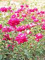 Rose, Love, バラ, ラヴ, (15606225391).jpg