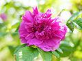 Rose, Pink Surprise, バラ, ピンク サプライズ, (13969047570).jpg
