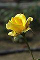 Rose - Kolkata 2012-01-03 7746.JPG
