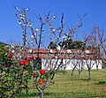 Rose Bush and Cherry Trees 3-13 (15649449999).jpg