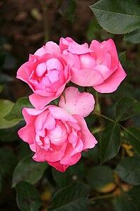 Rose Jardins de France 20070601 2.jpg