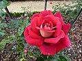 Rose du parc du thabor - panoramio (6).jpg